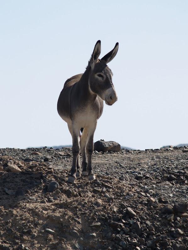 UAE donkey