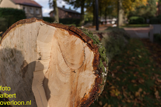 Bomen gekapt Museumlaan in overloon 20-10-2014 (25).jpg