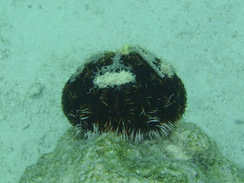 Sea Urchin, Rarotonga.