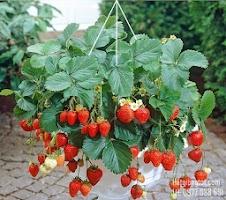 Hướng dẫn chăm sóc cách trồng dâu tây tại nhà