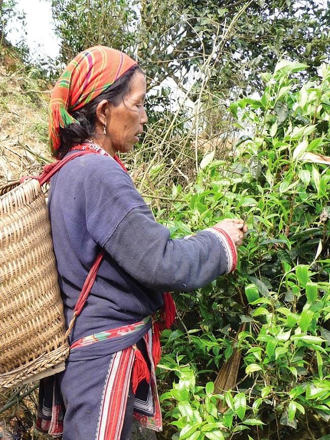 Урожай собирается вручную всего 4 раза в год представителями малых народностей.