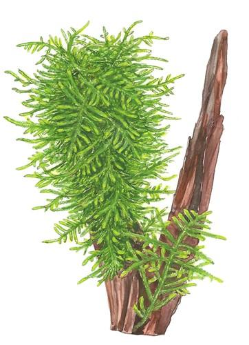 Rêu thủy sinh Spiky