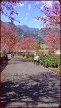草坪頭玉山觀光茶園-青山、藍天、山櫻花