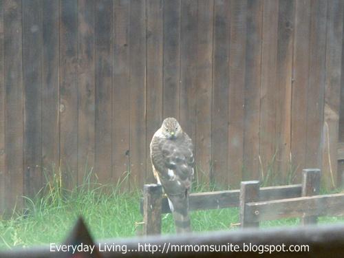 photo of a Sharpshin sitting