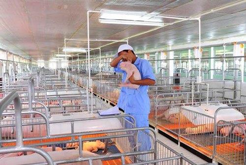 Đơn hàng nông nghiệp chăn nuôi lợn cần 3 nam làm việc tại Yamagata Nhật Bản tháng 12/2017