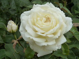 Hoa hồng ngoại Jeanne Moreau