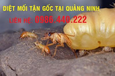 Diệt mối tận gốc tại Quảng Ninh