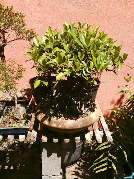 Ficus Microcarpa do Roberto Teixeira... - Página 2 IMAG0333