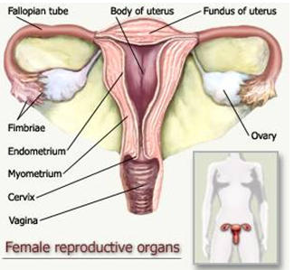 anatomi rahim wanita Super Lutein: Penebalan Dinding Rahim (Hiperplasia Endometrium)