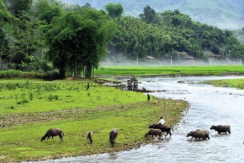 Ảnh dòng sông quê với những con trâu đang ăn cỏ