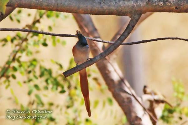 Female Asian Paradise Flycatcher on a branch
