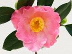桃色地 底白ぼかし 一重 椀咲き 筒しべ 中輪 有香