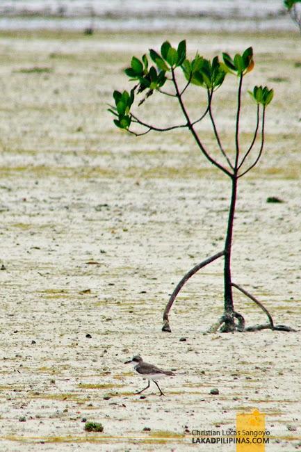 One of the few Birds at Olango Island Wildlife Sanctuary in Cebu