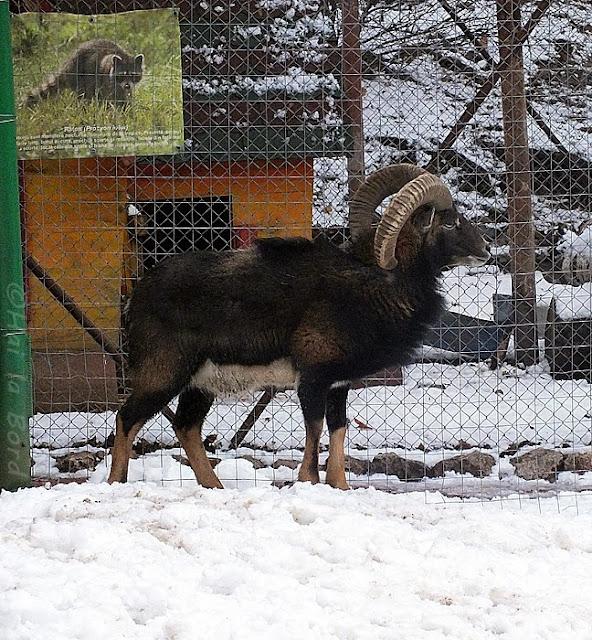 muflon zoo piatra neamt