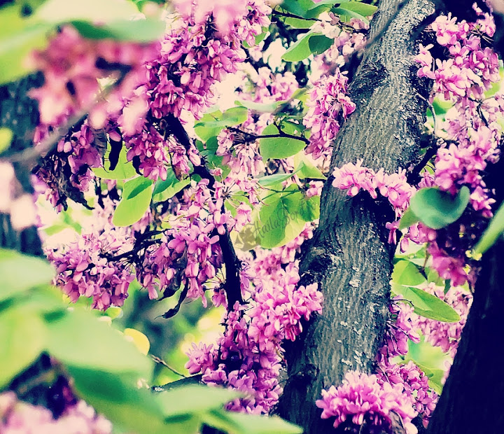 flori roz cismigiu mai 2013