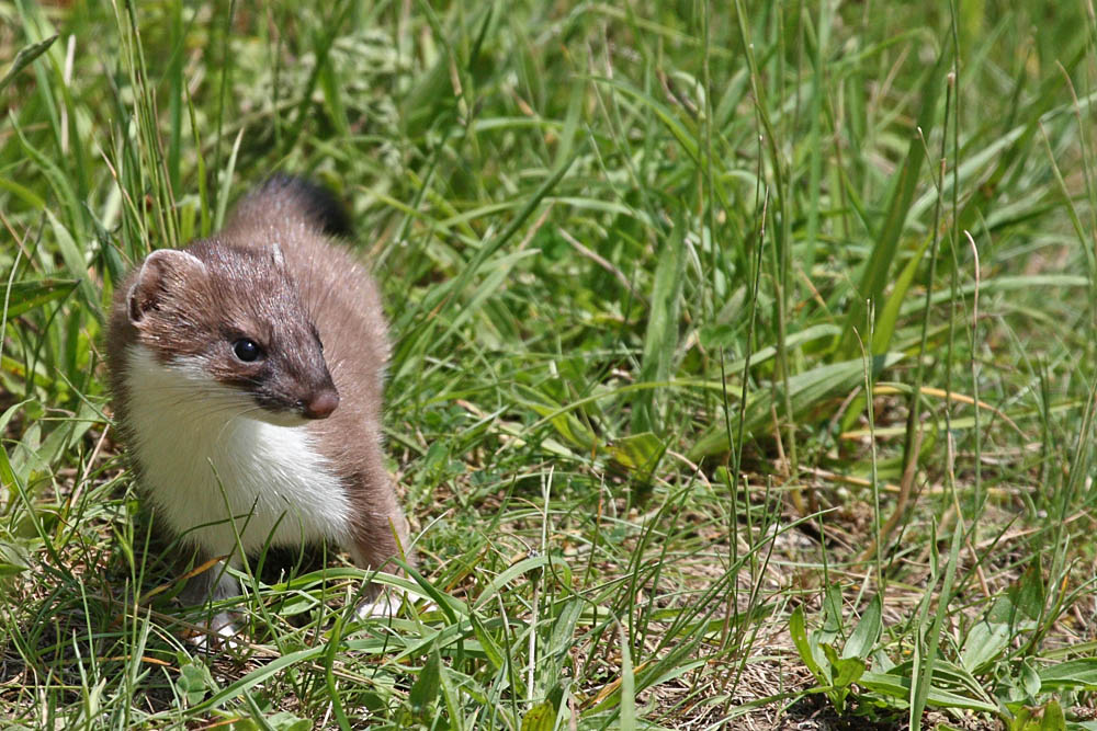 Baby short tailed weasel - photo#28