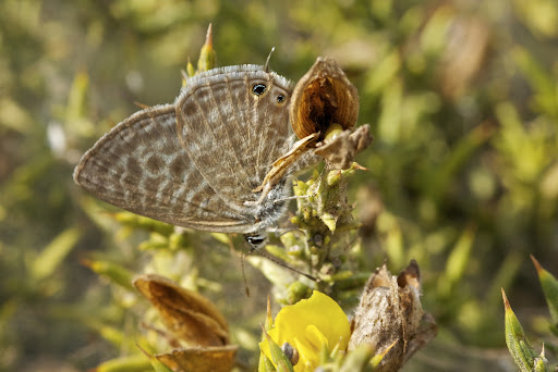 Lang's Short-tailed Blue and Common Zebra Blue _Leptotes pirithous _ feeding on Gorse flower at t...