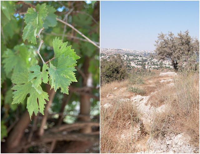 summer in israel, grape vine