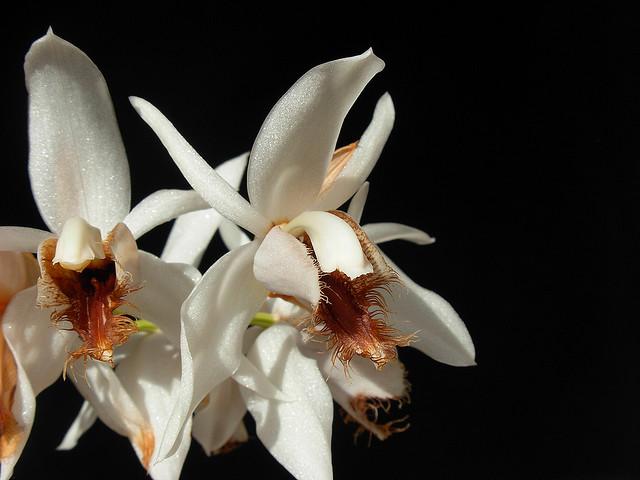 Растения из Тюмени. Краткий обзор - Страница 3 Coelogyne%252520barbata