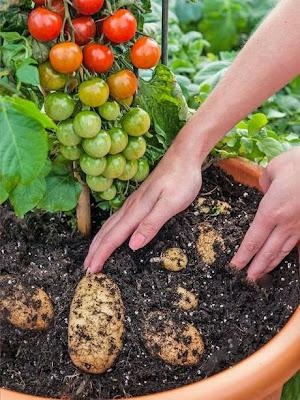 Tanaman kentang ini berbuah tomat