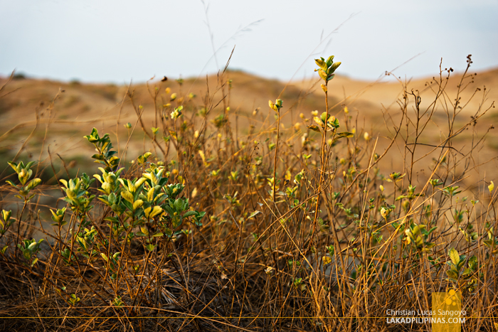 Hardy Shrubs at the Paoay Sand Dunes
