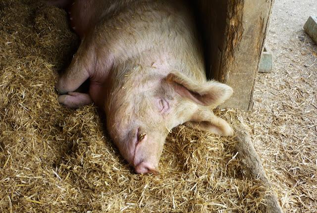 Schlafendes Hausschwein im Stall.