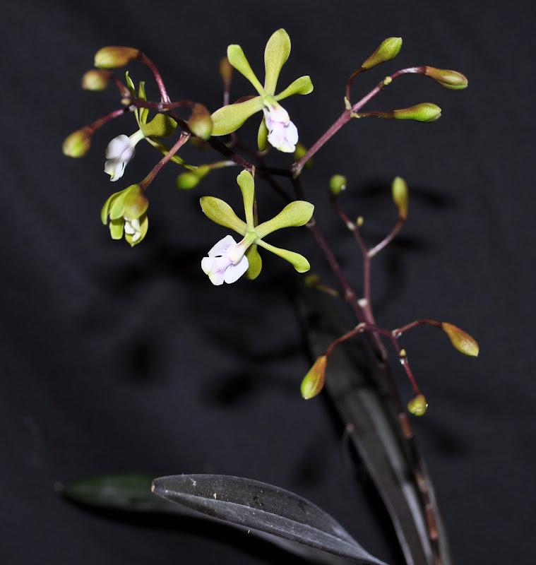 Epidendrum paniculatum  DSC_0006