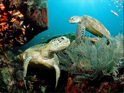 Green Sea Turtles.jpg