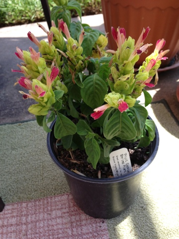 rainbow shrimp plant