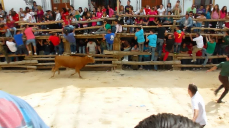 A medium size bull - from the once a year bull run in Castril, Andalusia