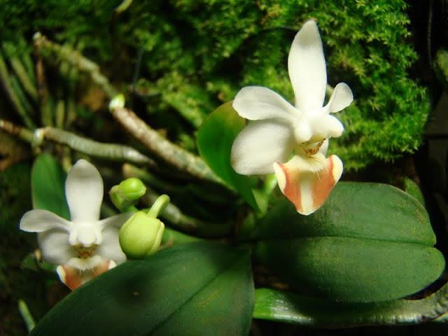 Phalaenopsis lobbii DSC08445