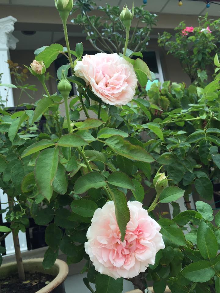 Cây hồng Miranda rose của chị Linda Nuslin