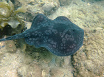 Spotted ray (Urolopus gigas)