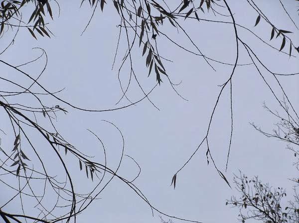 ветки ивы