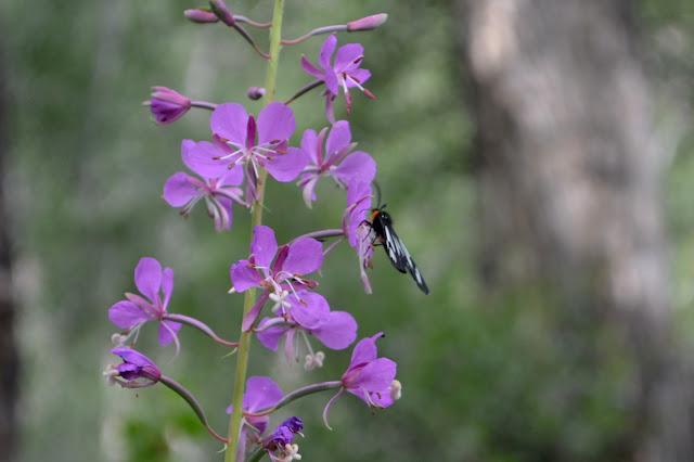 horsefly on purple flowers