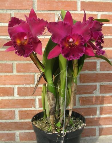 Растения из Тюмени. Краткий обзор - Страница 9 Blc.%252520Chia%252520Lin