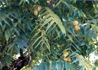 #1 Hybrid Black Walnut    Fruit near ripe in summer.
