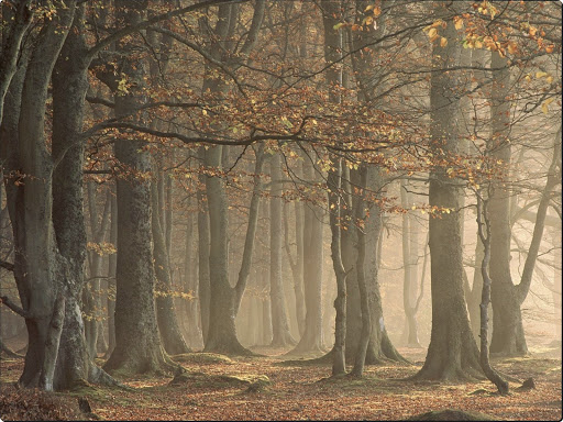 European Beechwood Forest, Arbroath, Angus, Scotland.jpg