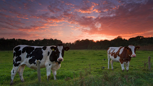 Cows at Sunset, De Mortelen, Boxtel, The Netherlands.jpg