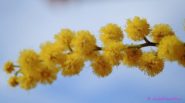 Yellow mimosa flowers close-up