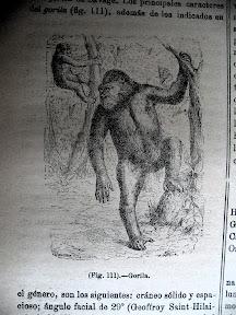 Ilustración de gorilas.