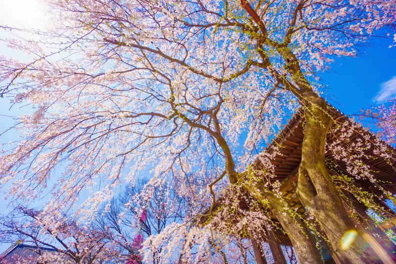 増上寺 桜 写真 9