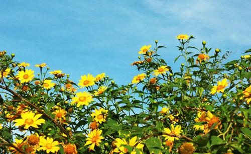 ảnh hoa dã quỳ và bầu trời