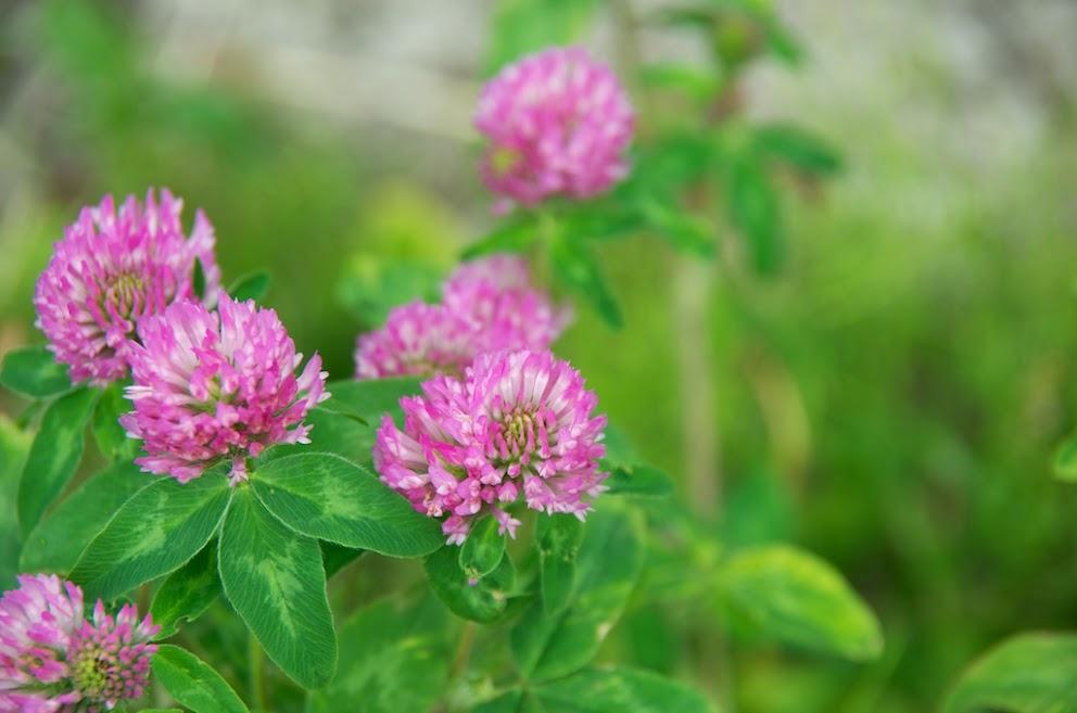 ひまわりの里の路端に咲くクローバーの花