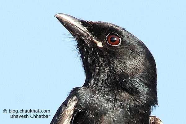 Juvenile Black Drongo [Dicrurus macrocercus] - Close-up