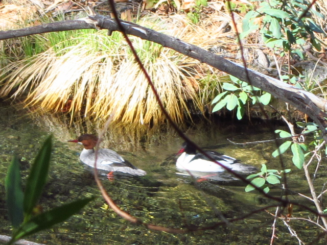 a pair of ducks paddling away in the creek