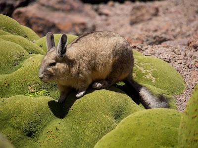 La vizcacha és un animal molt freqüent