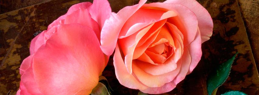 Ảnh Bìa Hoa Hồng Đẹp, Những Nụ Hồng Khoe Sắc Thắm