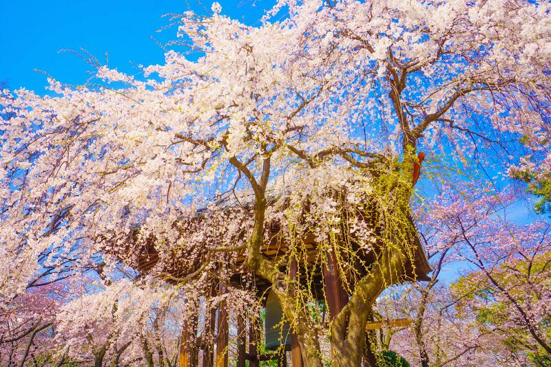 増上寺 桜 写真 10