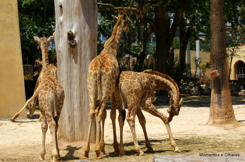 Jardim Zoológico, Lisboa, Girafas